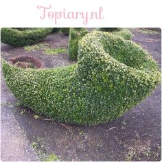 Buxus sempervirens Buxus Sempervirens, Topiary, Stepping Stones, Outdoor Decor, Home Decor, Stair Risers, Interior Design, Home Interior Design, Home Decoration