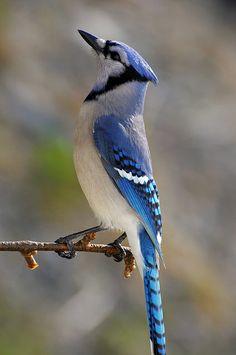Blue Jay  by Clyde Barrett, via Flickr