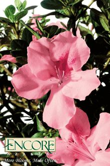Autumn Debutante™ Encore Azalea  1 gal. $34.99  3 gal $42.99  Height:  4 ft.    Width:  4 ft.    Sunlight:  Partial Sun    Blooms:  Spring, Summer, Fall
