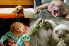 Sloths: The Best Animals on the Internet