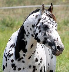 NOIKA MEGA SON - APPALOOSA STALLION
