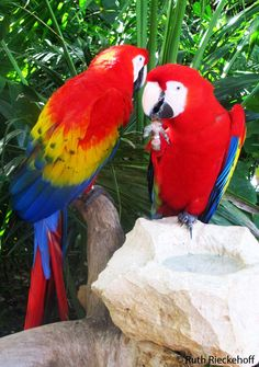 Red Macaws, Xcaret, Mexico