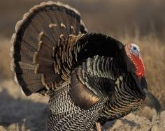 Wild Turkey--Meleagris gallopavo-- Male (Listed on e-bird) Turkey Art, Wild Turkey, E Bird, The Barnyard, Dog Pin, Turkey Hunting, Bird Watching, Bald Eagle, Creatures