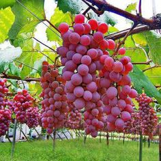In Japan, when the hot summer ends, the season of harvest, autumn, begins. Here are some recommended spots for fruit picking near Tokyo. Yamanashi, Mont Fuji, Fruit Picking, Japanese Wine, Vides, Red Grapes, Garden Pictures, Tropical Fruits, Fruit Art