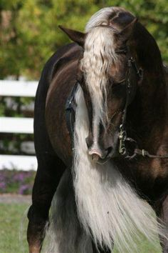 Chocolate palomino Morgan Stallion.