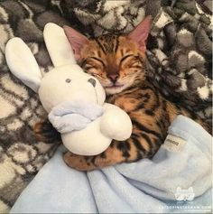 "TOMMY TIGER WILL NOT GO TO BED UNLESS HE HAS HIS ""BLANKIE"" & FAVORITE PLUSH BUNNY---THEN IT'S ""GOOD NIGHT FOLKS"" !!!...............ccp"