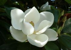 Some of the impressive health benefits of magnolia include its ability to treat menstrual cramps, improve respiratory health, and detoxify the body