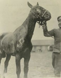 WW1. Shell wounds of a horse undergoing treatment at the Veterinary Hospital at St. Omer AEF. -WW1 Signal Corps Pictures of the Veterinary Corps and Remount Service