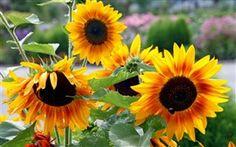 Sunflowers Nahaufnahme