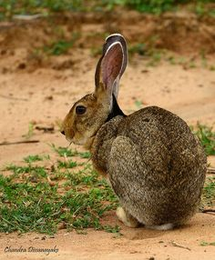 Rabbit, Yala National Park, Sri Lanka #Rabbit #Yala #NationalPark #SriLanka