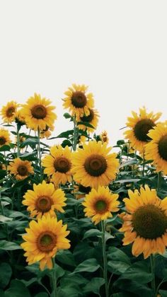 "adventuresonly: ""sunflowers "" #LandscapeWallpaper"