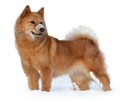 These Dogs Must Love the Snow. Spitz Dog Breeds, Spitz Dogs, Dog Love, Puppy Love, Dog Breeds List, Crazy Dog Lady, Wild Dogs, Puppy Pictures, Little Dogs
