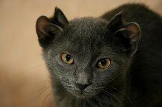 Gatinho foi rejeitado quando filhote por ter nascido com 2 orelhas de cada lado da cabeça