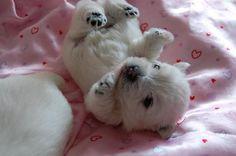 Westie pup (baby polar bear) :)