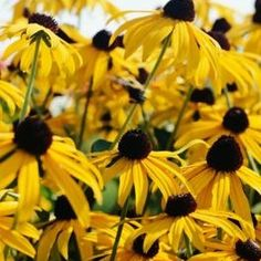 Black-eyed Susans are hardy wildflowers that will tolerate many growing conditions.