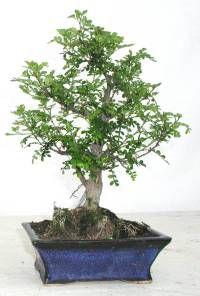 Photo du bonsai : Faux poivrier du Japon (Operculicarya decaryi, Xanthoxylum piperitum)
