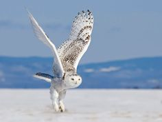 Snowy Owl in flight. author: Richard Dumoulin