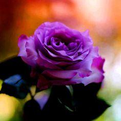 Resultado de imagem para imagenes de rosas azules