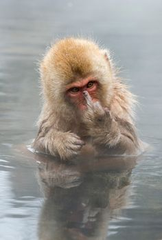 Japanese Macaque showing middle finger - This young Japanese Macaque (Snow monkey) was showing his middle finger to me when I was photographing him bathing.