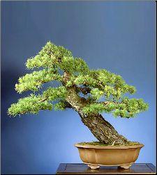 Photos of classical masterpiece bonsai trees.