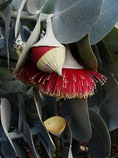 "Rose mallee (Eucalyptus rhodantha) ""hats off""- flower operculum falls revealing 'brush' of the red stamens in Kings Park."