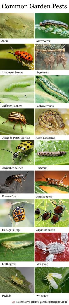 Lets face it – there isnt a gardener or farmer who hasnt come across one of these pests, while working in their organic garden. By finding out more about these insects and ways to control them, it is possible to grow healthy, abundant crops, and keep your Garden Bugs, Garden Insects, Garden Pests, Lawn And Garden, Garden Fertilizers, Plant Pests, Garden Care, Growing Plants, Growing Vegetables