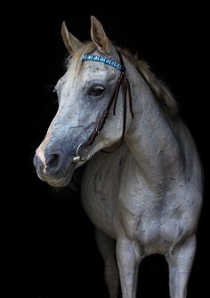 Grey horse by Asya Pozniak