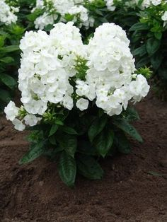 """Phlox paniculata,""""Younique White"""",  (Garden Phlox)"""