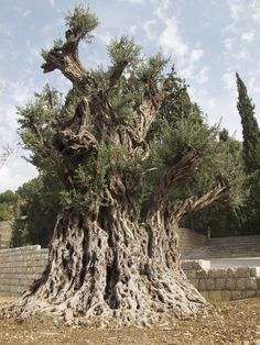Oldest olive tree in the world is in lebanon