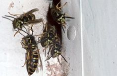 close up of bees crawling out of hole in house
