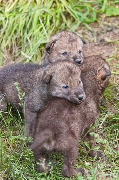 Hey, I'm top wolf....wait I'm top wolf...wait...