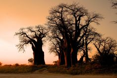 Baobab Sunset - Baines Baobab in Botswana