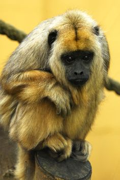 Howler Monkey - Chilly by Shadow-and-Flame-86.deviantart.com on @deviantART