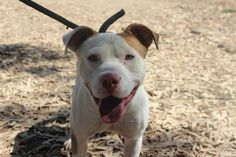 """URGENT - ADOPT SWEET AND FRIENDLY HAPPY - 2 yrs., about 50-60 lbs. Brown & white Pit Bull Terrier. Do not have ID# or info. """"A very nice boy. He is a Big boy but doesn't jump on you. I think he's about 60lbs. Even the ACO likes this one."""" McFarland Shelter Animals , CALIF. https://www.facebook.com/photo.php?fbid=486082344749480=a.462864053737976.108214.143244052366646=1_count=1"""