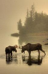 Moose in Isle Royale Park . . Must see!