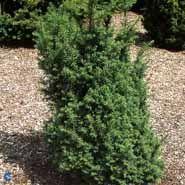 Taks, Baccata, 80-100 cm. i klump, Taxus Baccata