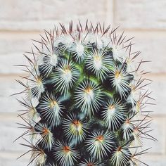 One of my favourite cacti. . . . . . #cactus #cacti #succulents #succullent #spikes #prickles #desert #thorns #red #green #water #plants #gardening