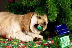 Cocker Spaniel pup at Christmas Christmas Animals, Christmas Dog, Christmas Ideas, Holiday Fun, Merry Christmas, Dog Safety, Safety Tips, Dog Stock Photo, Pets