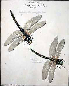 dragonflies - MIGHT be willing to put this up in my house....but don't want to go too crazy with dragon flies