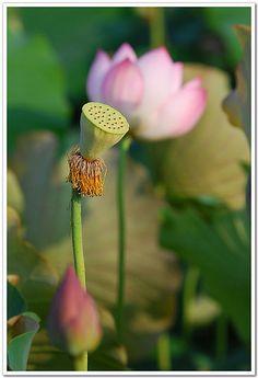 Gyümölcsét a virágkötők hasznosítják.