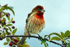 House Finch 2  #500px #birds #birdwatchers #birdlovers #finch #photography #nature