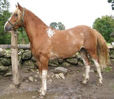 Estonian horse Ankur from Tihuse
