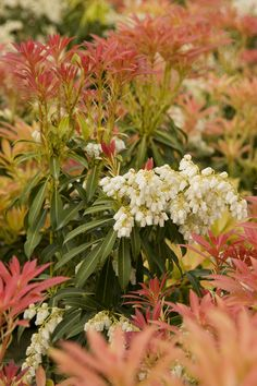 Forest Flame Lily Of The Valley has beautiful brilliant red, then pinkish-white spring foliage backs profuse blooms of large, white flower clusters. Foliage matures to green. Excellent companion shrub for azaleas. Evergreen. Zone 5-9