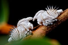 Treehopper nymphs (Membracidae)