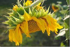 Sunflowers.  Photo Lisa Porter