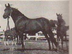 """Lippitt Miss Nekomia (Lippitt Moro x Nekomia) certainly ranks as one of the breed's all-time great mares. Foaled in 1935 at the Green Mountain Stock Farm in Randolph, Vermont, she was purchased by Dr. Clarence Parks of Honesdale, Pennsylvania in 1937. She went on to prove the versatility of the breed. She competed six times in the Green Mountain Association 100 Mile Ride while in foal and raising a foal at the same time."""