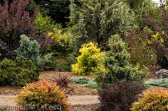 A riot of color in the summer foliage garden, starring Cotinus Grace, Podocarpus elongatus Monmal, Chamaecyparis pisifera Filifera Aurea, Chamaecyparis pisifera Boulevard, Lophomyrtus Black Stallion, Nandina domestica Gulfstream.  Click directly on the photo to enlarge it in a pop-up. Click the image to enlarge.