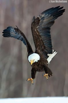 "A Bald Eagle: ""Talons At The Ready!"" (Photo By: © Ian Nicholson.)"