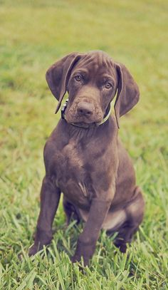 german shorthaired pointer, liver. Look at that face, omg so cute!