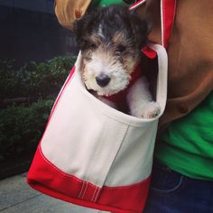 "Buddy, My Wire Fox Terrier-""unexpected item in the bagging area ""."